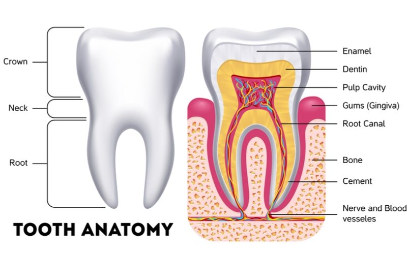 Tooth Anatomy Everything You Should Know About The Teeth